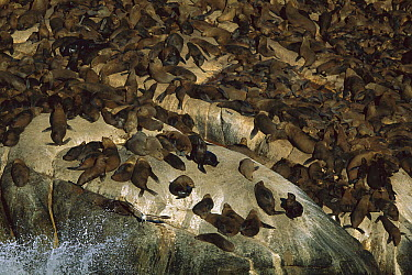 Cape Fur Seal (Arctocephalus pusillus) group on rocks, Hout Bay, South Africa  -  Richard Du Toit