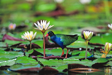Allen's Gallinule (Porphyrio alleni) on waterlily pad, Kasai Channel, Caprivi Strip, Namibia
