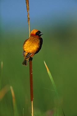 Red Bishop (Euplectes orix) perched on cattail, Marievale, Gauteng, South Africa  -  Richard Du Toit