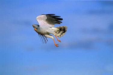 Pale Chanting-goshawk (Melierax canorus), Kalahari, South Africa