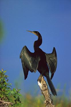 African Darter (Anhinga rufa) drying wings, Chobe River, Caprivi Strip, Namibia  -  Richard Du Toit