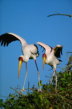 Yellow-billed Stork (Mycteria ibis) pair, Chobe River, Caprivi Strip, Namibia  -  Richard Du Toit