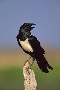 Pied Crow (Corvus albus), Etosha National Park, Namibia  -  Richard Du Toit