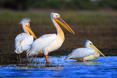 Great White Pelican (Pelecanus onocrotalus) left, and a Pink-backed Pelican (Pelecanus rufescens) at right, Chobe River, Botswana