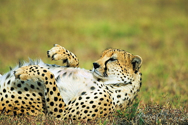 Cheetah (Acinonyx jubatus) male lying on back, Lewa Wildlife Conservancy, Kenya