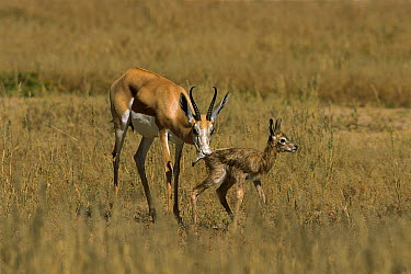 Springbok (Antidorcas marsupialis) mother licking newborn clean to deter predators, Kalahari, South Africa  -  Richard Du Toit