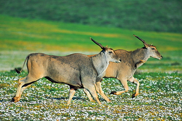 Eland (Taurotragus oryx) pair running through spring flowers, West Coast National Park, South Africa