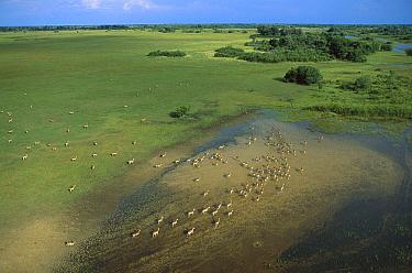 Lechwe (Kobus leche) aerial shot of a herd in summertime, Okavango Delta, Botswana  -  Richard Du Toit