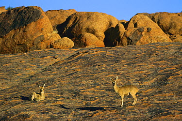 Klipspringer (Oreotragus oreotragus) pair laying in the sun, Augrabies, Northern Cape, South Africa  -  Richard Du Toit