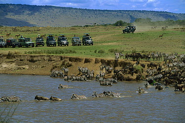 Blue Wildebeest (Connochaetes taurinus) and Burchell's Zebra (Equus burchellii) migration across a river as tourists watch from vehicles, Masai Mara National Reserve, Kenya  -  Richard Du Toit