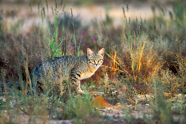 African Wild Cat (Felis lybica) crouching in the grass, Kalahari, South Africa
