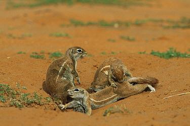 Striped Ground Squirrel (Xerus erythropus), Kgalagadi Transfrontier Park, South Africa  -  Richard Du Toit