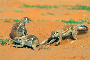 Striped Ground Squirrel (Xerus erythropus) playing around burrow, Kgalagadi Transfrontier Park, South Africa