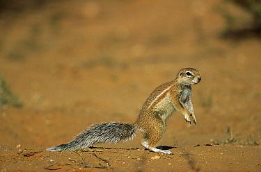 Striped Ground Squirrel (Xerus erythropus) standing, Kgalagadi Transfrontier National Park, South Africa  -  Richard Du Toit