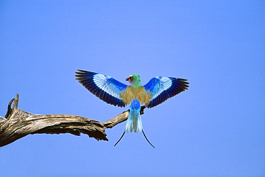 Lilac-breasted Roller (Coracias caudata) wings spread, winter, Savuti, Chobe National Park, Botswana