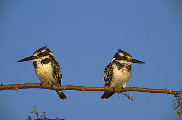 Pied Kingfisher (Ceryle rudis) pair perching, Chobe River, Caprivi Strip, Namibia  -  Richard Du Toit