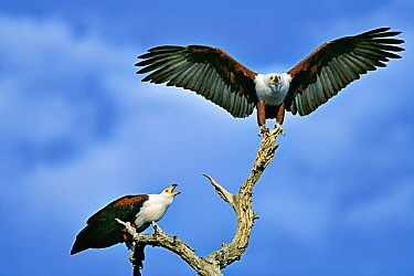 African Fish Eagle (Haliaeetus vocifer) pair on snag, Chobe National Park, Botswana