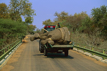 African Elephant (Loxodonta africana) being relocated by truck, from Kruger National Park, South Africa to Mozambique  -  Richard Du Toit