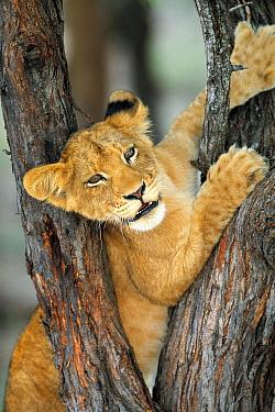 African Lion (Panthera leo) cub climbing tree, Sabi Sand Game Reserve, South Africa