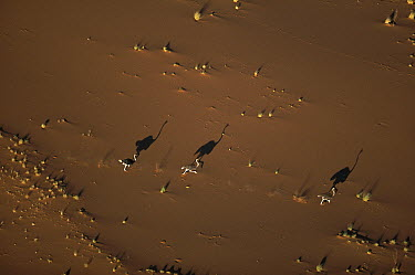 Ostrich (Struthio camelus) walking as their shadows stretch across the sand, South Africa  -  Richard Du Toit