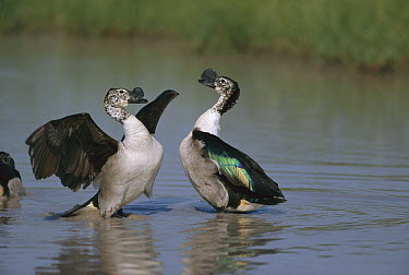 Comb Duck (Sarkidiornis melanotos) males starting to fight, Chobe National Park  -  Richard Du Toit