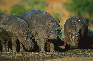 Hippopotamus (Hippopotamus amphibius) standing at the Khwai River, Botswana  -  Richard Du Toit