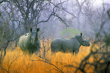 White Rhinoceros (Ceratotherium simum) in the mist, South Africa