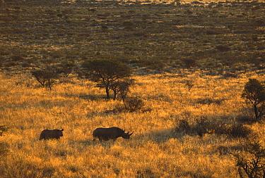 Black Rhinoceros (Diceros bicornis) winter, Tswalu Kalahari Reserve, South Africa  -  Richard Du Toit