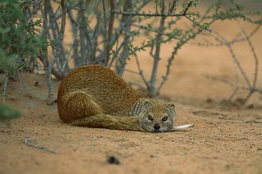 Yellow Mongoose (Cynictis penicillata), Kgalagadi Transfrontier Park, South Africa  -  Richard Du Toit