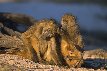Chacma Baboon (Papio ursinus) parents and baby at winter dawn, Chobe National Park, Botswana  -  Richard Du Toit