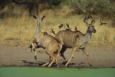 Greater Kudu (Tragelaphus strepsiceros) startled female pair and oxpeckers at waterhole, Kruger National Park, South Africa  -  Richard Du Toit