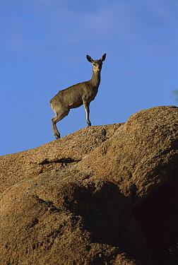 Klipspringer (Oreotragus oreotragus) standing on a rock, summer, Augrabies Falls Park, South Africa  -  Richard Du Toit