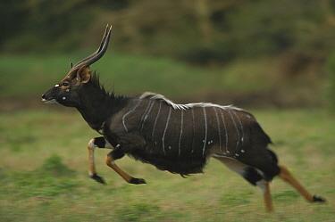 Nyala (Tragelaphus angasii) male running, summer, South Africa  -  Richard Du Toit