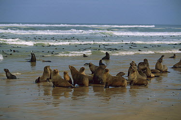 Cape Fur Seal (Arctocephalus pusillus) colony on beach and in the water, Skeleton Coast National Park, Namibia  -  Richard Du Toit