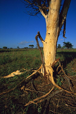 Acacia (Acacia sp) stripped of bark by feeding elephants, Phinda Game Reserve, South Africa  -  Richard Du Toit
