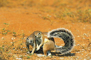 Striped Ground Squirrel (Xerus erythropus) pair, one using it's tail as shade, Kgalagadi Transfrontier Park, South Africa