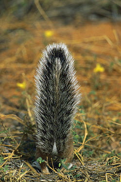 Striped Ground Squirrel (Xerus erythropus) using it's tail as shade, Kgalagadi Transfrontier Park, South Africa  -  Richard Du Toit