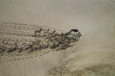 Burchell's Zebra (Equus burchellii), aerial view of herd and one wildebeest in summer, Makgadikgadi Pans, Botswana  -  Richard Du Toit