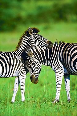 Burchell's Zebra (Equus burchellii), pair in summer, Itala Game Reserve, South Africa