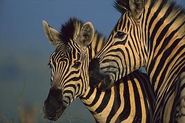 Burchell's Zebra (Equus burchellii), two in summer Itala Game Reserve, South Africa  -  Richard Du Toit