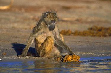 Chacma Baboon (Papio ursinus) foraging for food in elephant dung, Chobe National Park, Botswana  -  Richard Du Toit