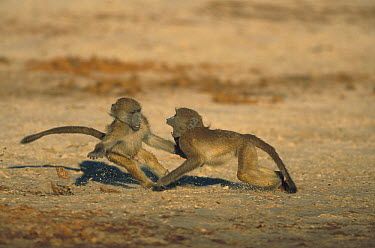 Chacma Baboon (Papio ursinus) juveniles play fighting, Chobe National Park, Botswana  -  Richard Du Toit