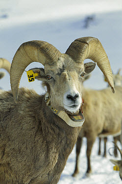 Bighorn Sheep (Ovis canadensis) ram with radio collar, Wallowa Mountains, Oregon  -  Michael Durham