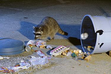 Raccoon (Procyon lotor) getting into garbage at night, Portland, Oregon  -  Michael Durham