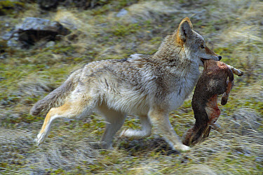 Coyote (Canis latrans) running with dead Lamb prey in its mouth, Montana  -  Michael Durham
