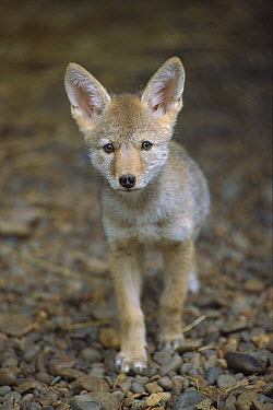 Coyote (Canis latrans) portrait of a nine week old pup, North America  -  Michael Durham