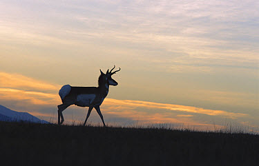 Pronghorn Antelope (Antilocapra americana) silhouetted on ridge at dusk, Heart Mountain National Wildlife Reserve, Oregon  -  Michael Durham