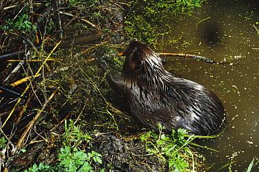 American Beaver (Castor canadensis) building a dam at night, Mt Hood National Forest, Oregon  -  Michael Durham