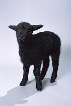 Domestic Sheep (Ovis aries), black lamb portrait, North America  -  Michael Durham