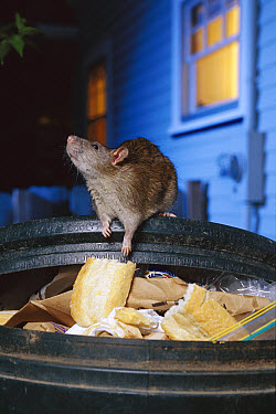 Brown Rat (Rattus norvegicus) raiding urban garbage, common pest species native to Europe, introduced worldwide  -  Michael Durham